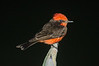 5.26.2013 - A Vermillion Flycatcher that decided to join us for dinner.