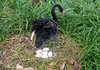 Black Swan and her nest