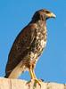 10.20 2007 Harris Hawks