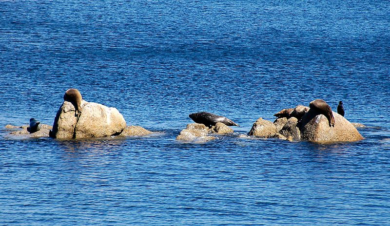6-27-2005 -- Some of the wildlife on a rock outcropping in Monterey Bay.