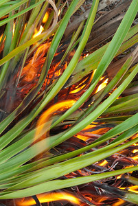 Fire burns through palmetto leaves during a prescrbed fire in oak scrub of central Florid