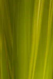 Light and patterns on a palmetto frond