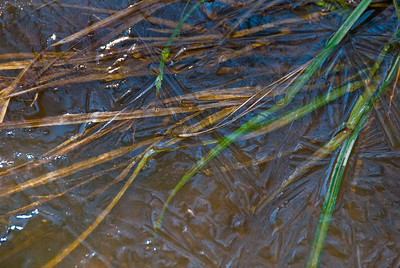 New ice over grass in the creek, Pittsboro NC