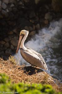 Pelican warning up in Pismo Beach, California.