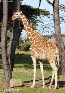 African Giraffee