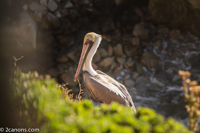 Pelican resting in Pismo Beach, Ca.