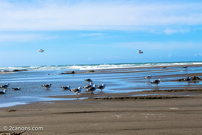 Seagulls in Sonoma, Ca