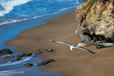 Seagull flying over Arch Rock at Point Reyes, Ca