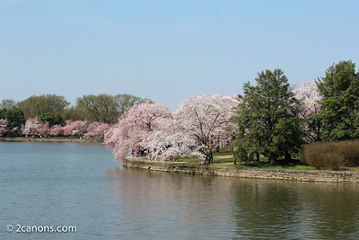 Cherry Blossoms along the Tidal Basin.