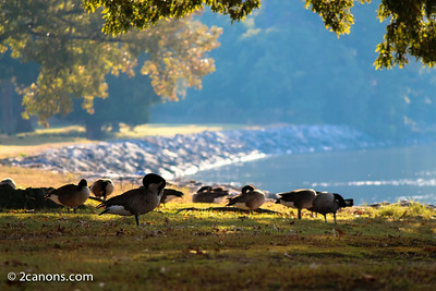 Geese in Historic Jamestowne, Virginia