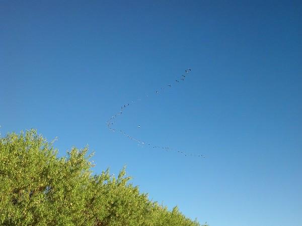 Pelicans in Flight