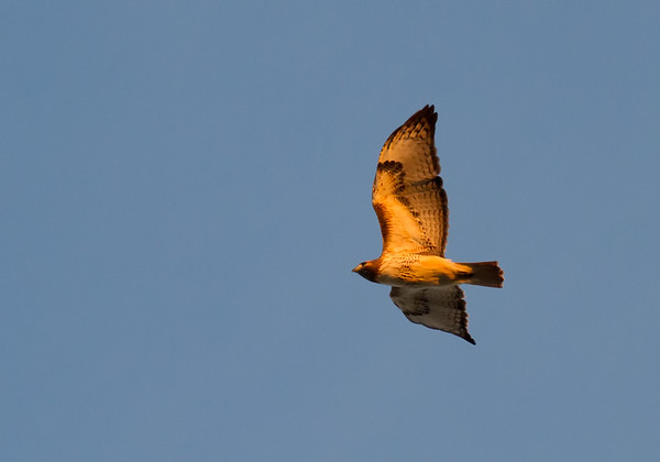 Early Morning Red Tail Hawk - 1