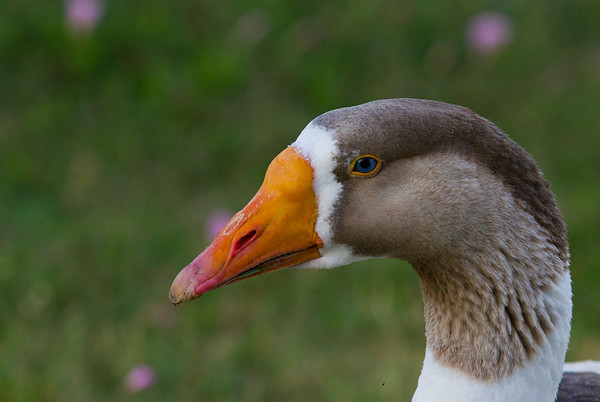 Candleridge Goose #2