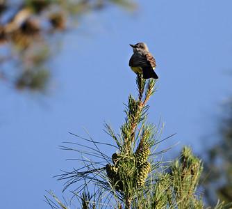 Mocking Bird  Date: 5/19/12  Canon 7D Takahashi FSQ-106ED (530mm f5) 1/500 sec ISO 100