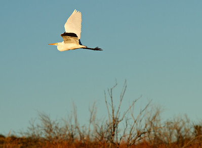 Egret on a morning flight