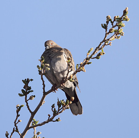 White Winged Dove  Canon 7D Takahashi FSQ-106ED (530mm f5) 1/400 sec ISO 100
