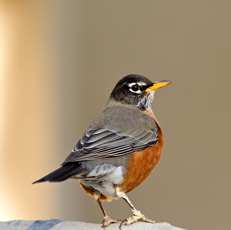 Late Fall Robin