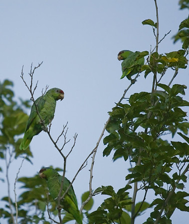 Trio of Parrots