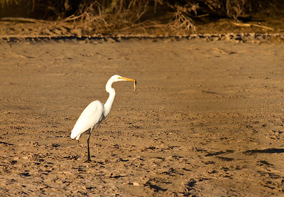 The Egret and the Catfish
