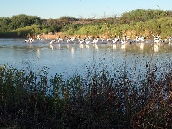 Rio Grande Pelicans Taking Flight
