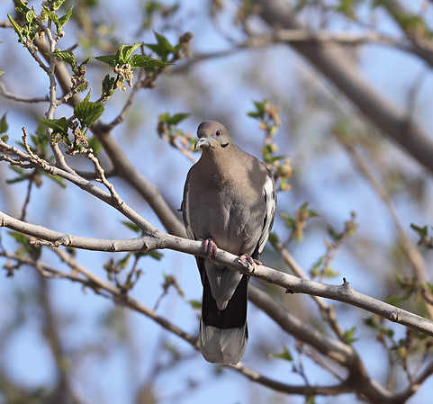 White Winged Dove - Toeless Joe  Canon 7D Takahashi FSQ-106ED (530mm f5) 1/320 sec ISO 100