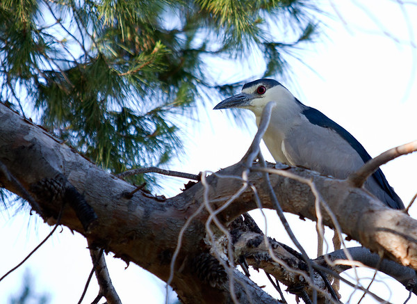Baby Heron II