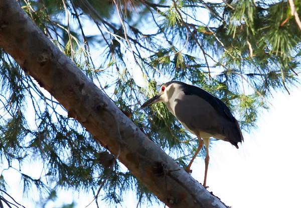 Baby Heron