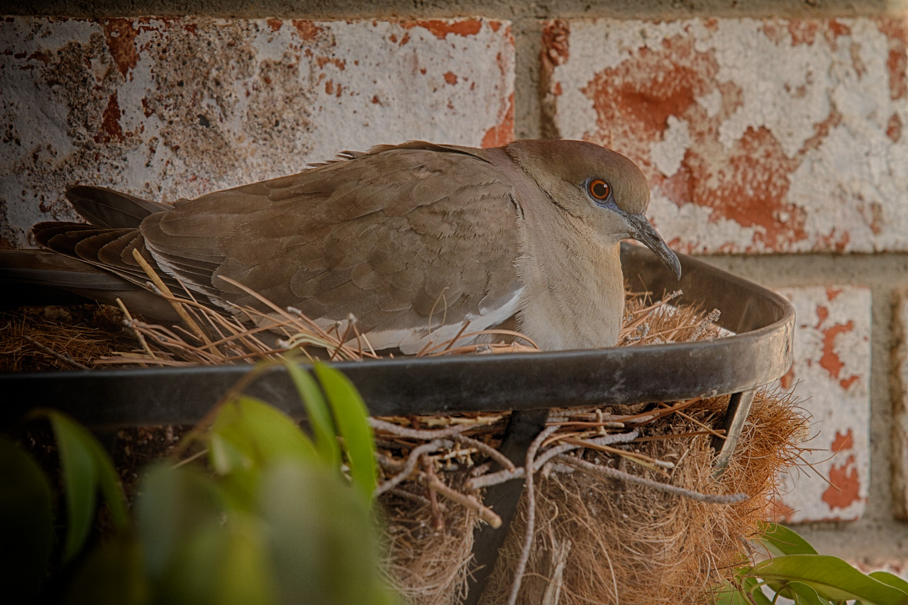 Nesting White Wing Dove<br /> <br /> Date: 4/9/13<br /> <br /> Canon 7D<br /> EF70-200 f2.8L<br /> ISO 400