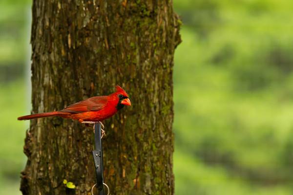 Covey Cardinal