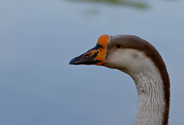 Candleridge Goose #1