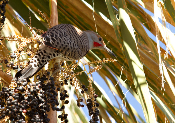 Northern Flicker in our Palm