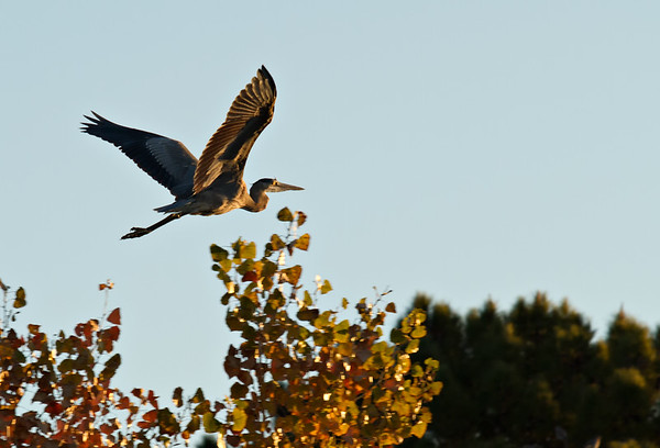 Heron's Sunrise Flight