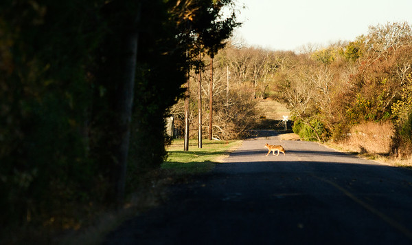 Morning Coyote crossing the street
