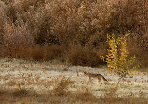 Early Morning Coyotes on the Rio Grande - 1