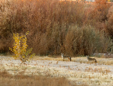 Early Morning Coyotes on the Rio Grande - 3