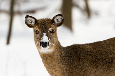 Snow Face Deer