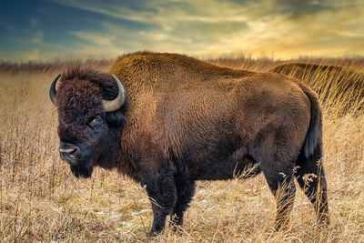 The Bison Eye