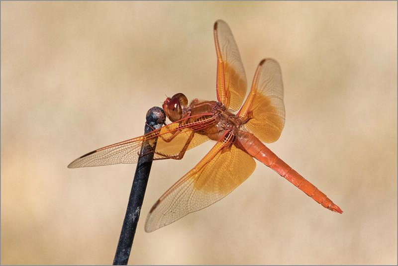 <center><i>Dragonfly, </i></center>#1981-7DII