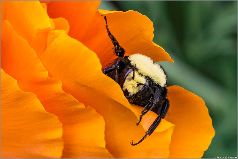 Bumble Bee Foraging  in Poppy .... [7DII.2018.1617]
