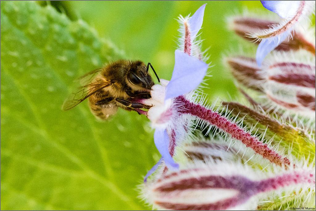 Honey Bee At Work [#7D.2015.1065]