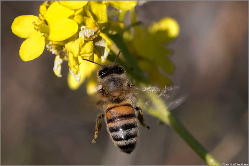 Hovering Honeybee ... [7DII.2018.1747]...