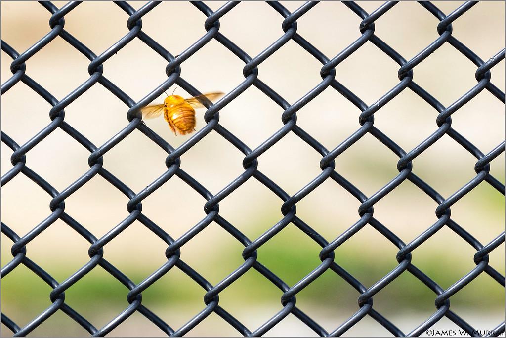 Carpenter Bee (escape velocity) ...  [7DII.2018.5612]