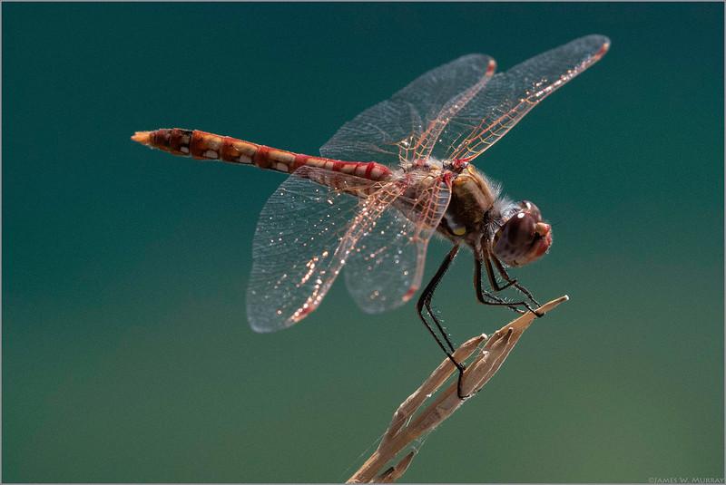 Dragon Fly (Edith Morley Denizen) ... [7DII.2018.6490]