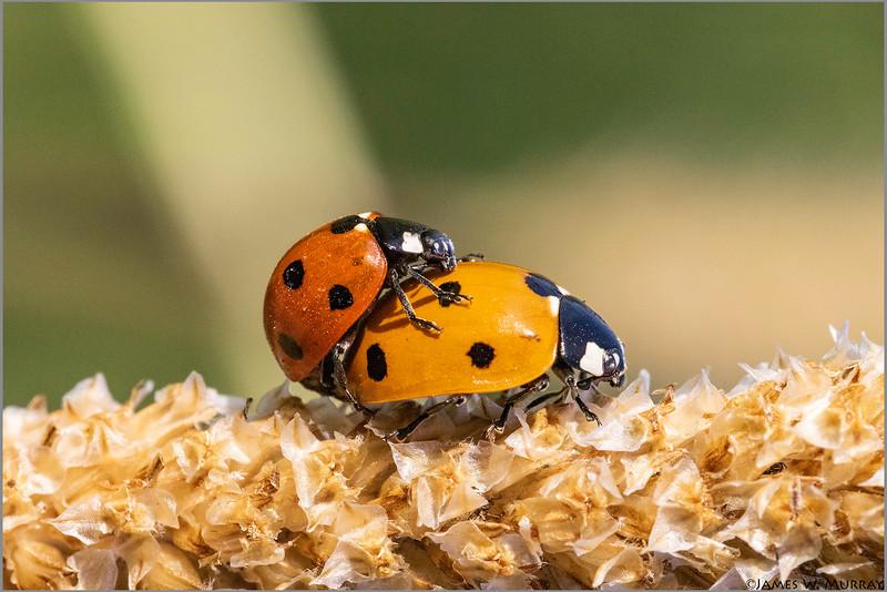 Ladybug Love ... [2018.2408]