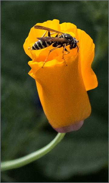 Poppy Hornet