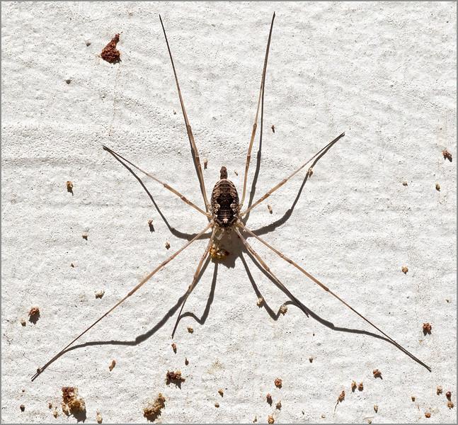 <center><i>Spindly Spider, </i></center>#1248-7DII
