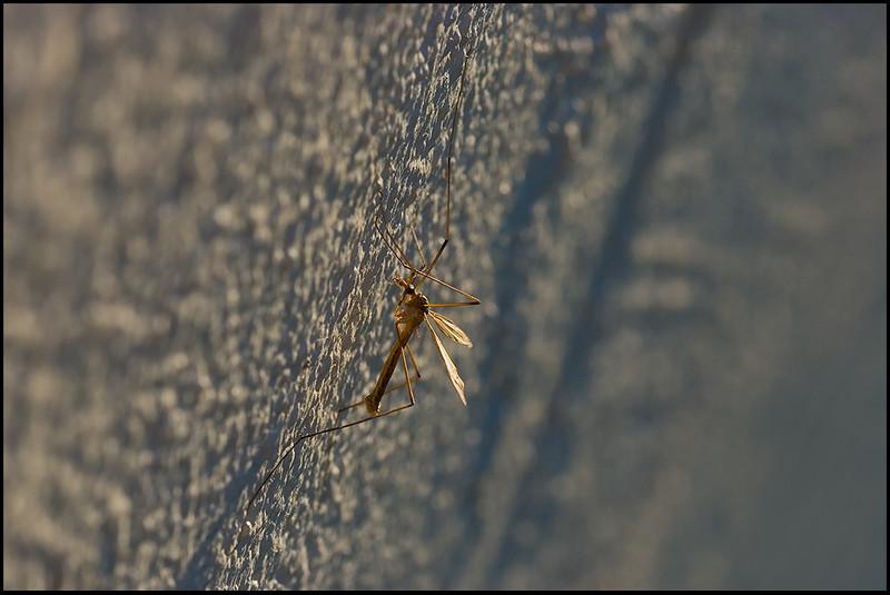 <center><i>Crane Fly on Wall</i>, #0650</center>