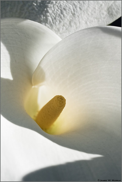 Calla Lily (emergence) . . . [7DII.8563.2017]