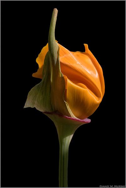 Entropic Poppy ... [7DII.2018.5255]