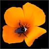 Bumble Bee's Poppy   ...  [7DII.2018.4316]